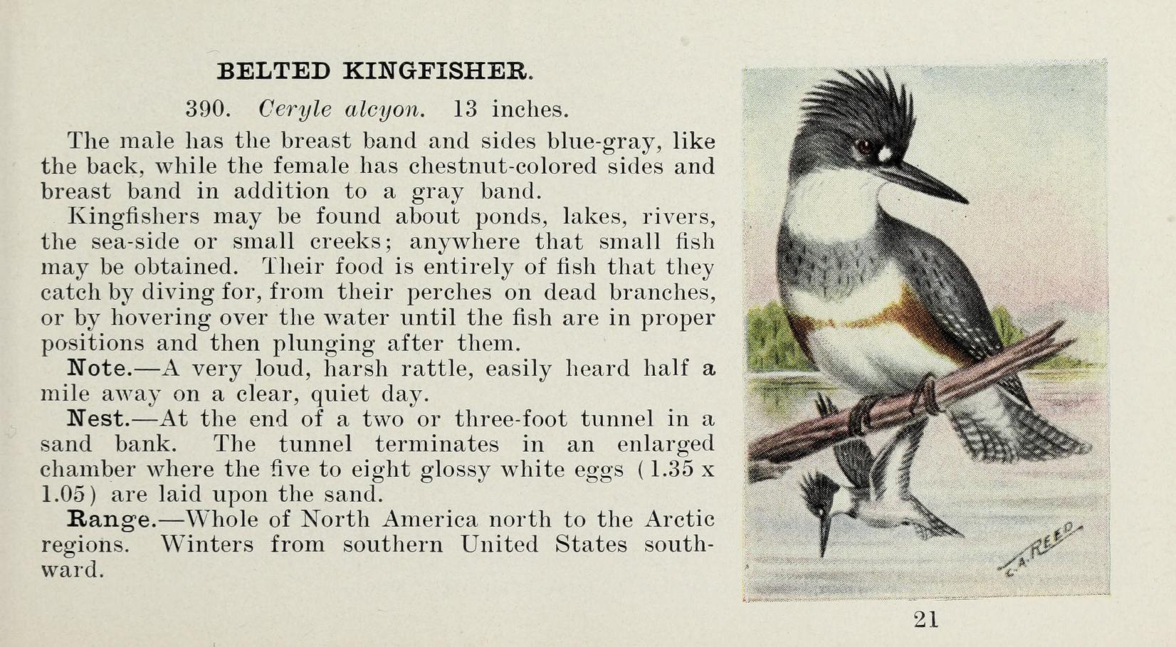 color illustration of a female belted kingfisher perched on a branch, with a male flying over water in the background